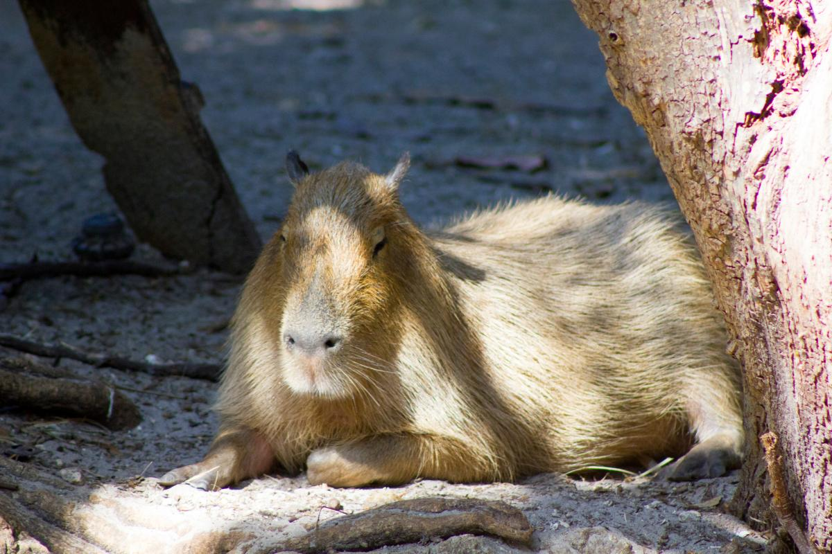 A capybara at the Palm Beach Zoo
