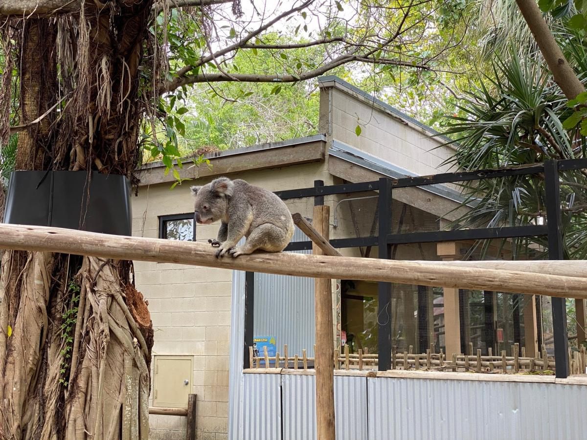 A koala at the Palm Beach Zoo