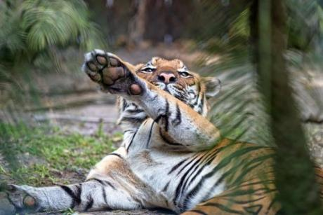 Hey! - How long will it take you to get here? The Malayan tigers are waiting to play hide-and-seek!