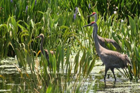 Peaceful Waters Sanctuary - Sandhill crane pair