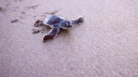 Sea turtle hatchling on Juno Beach