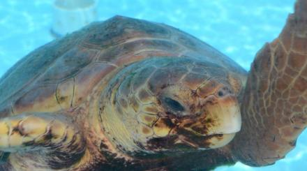 Photo loggerhead