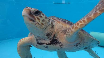 Turtle at loggerhead in tank