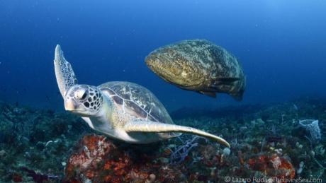 sea turtle and goliath grouper