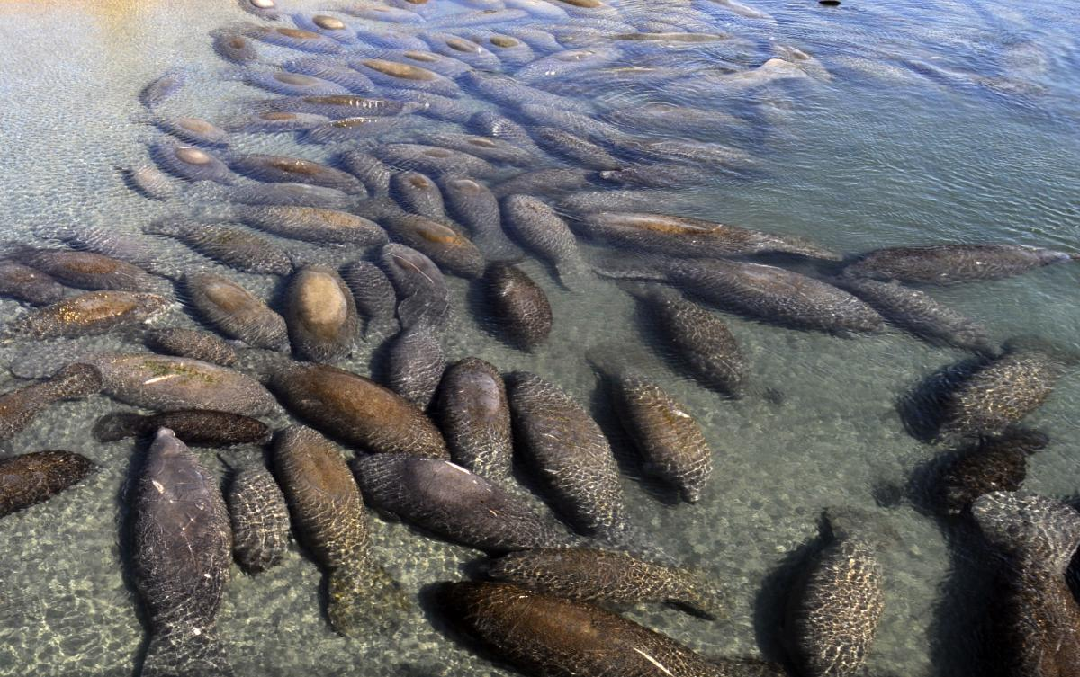 Dozens of Manatees Huddle at the Lagoon