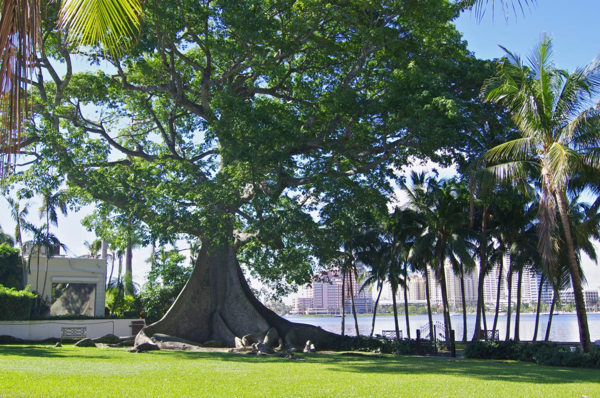 The giant kapok tree