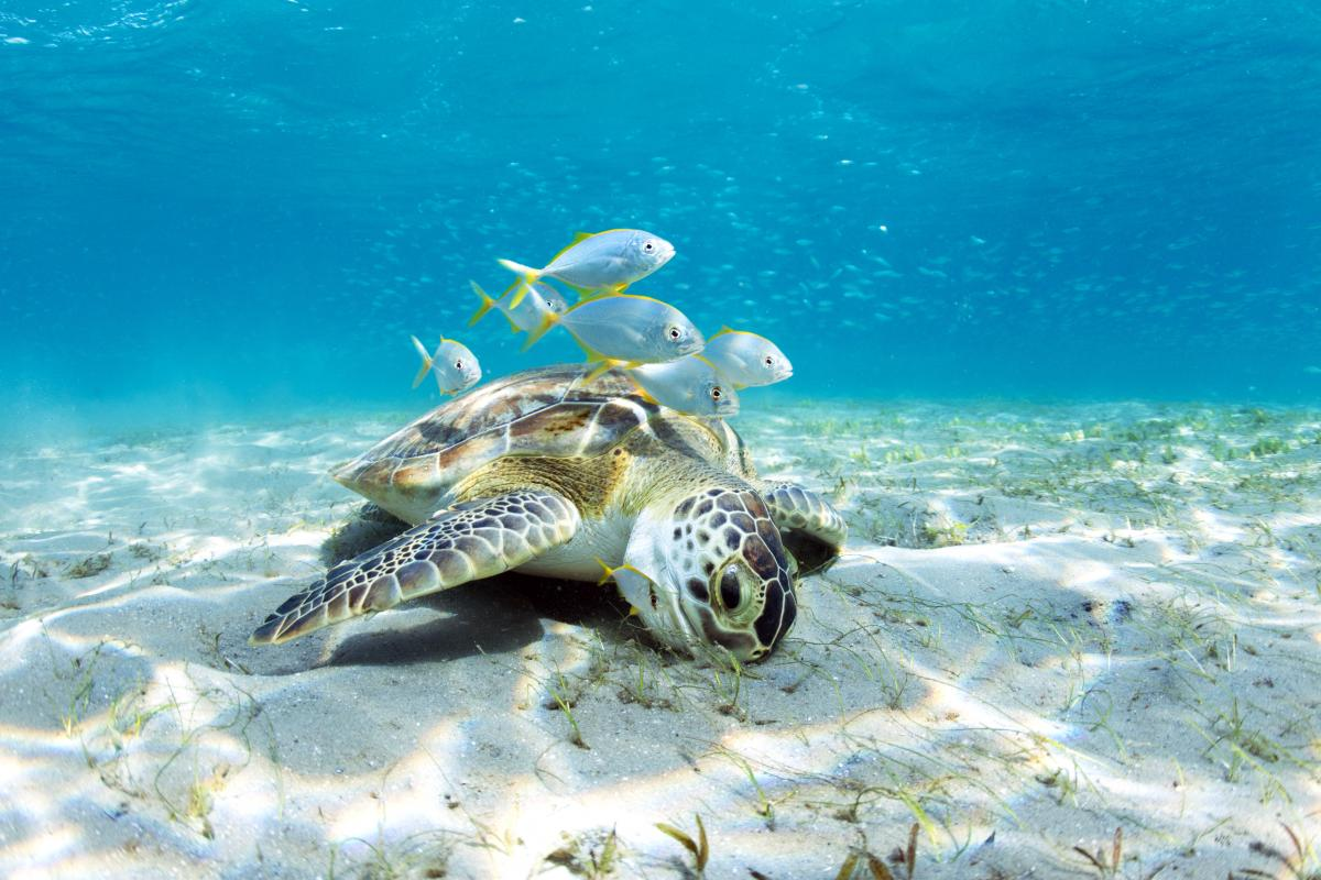 sea turtle surrounded by fish. Photo by Mike Scott