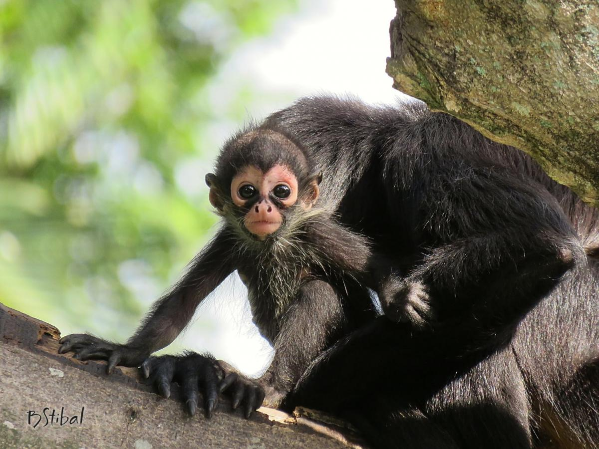 A Baby Mexican Spider Monkey Named Tesoro Watches Visitors At The Palm Beach Zoo