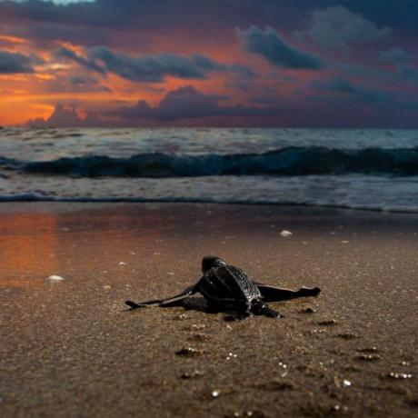 Sea turtle hatching in the morning