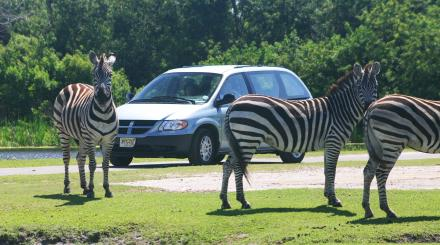 Zebras at Lion Country Safari