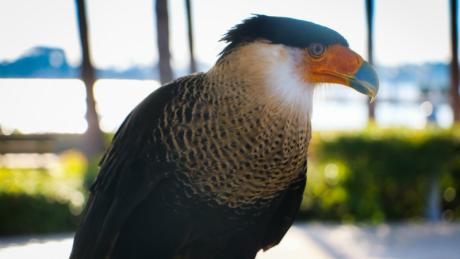 Crested Caracara bird of prey