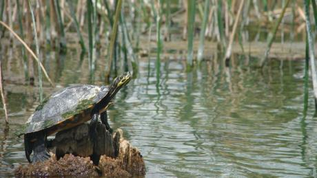 1.3 turtle on a stump in the water